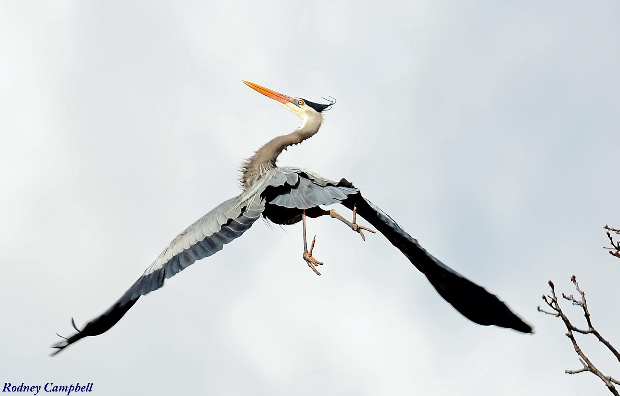 Great Blue Heron Leaving Roost