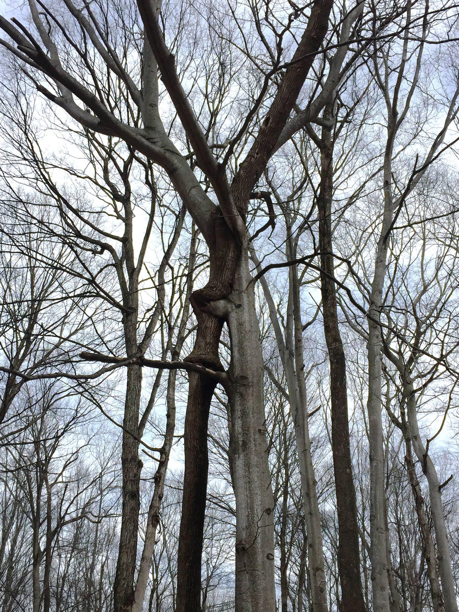 Twined Trees at Treat Farm