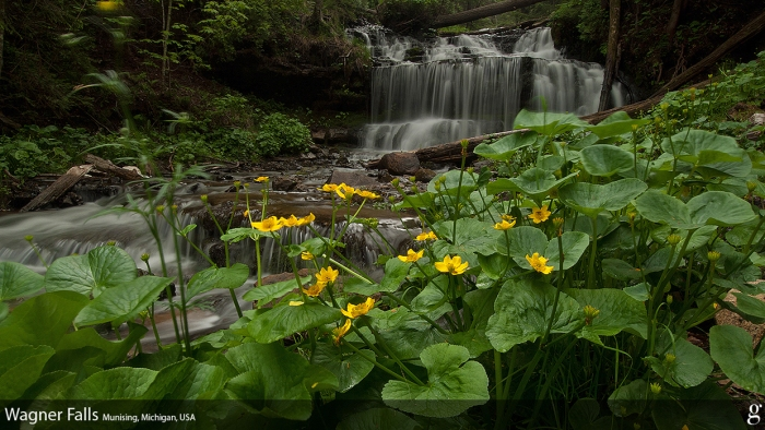 Wagner Falls with Marsh Marigolds