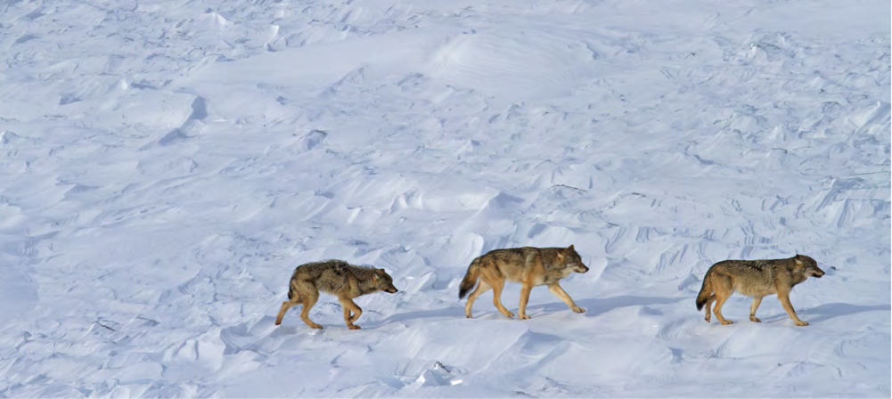3 Isle Royale wolves 2015