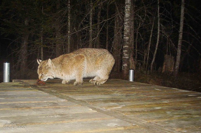 Bobcat on the Dock