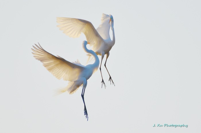 Egrets Dancing in the Air