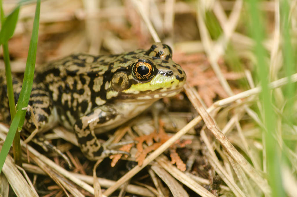 Michigan Mink Frog