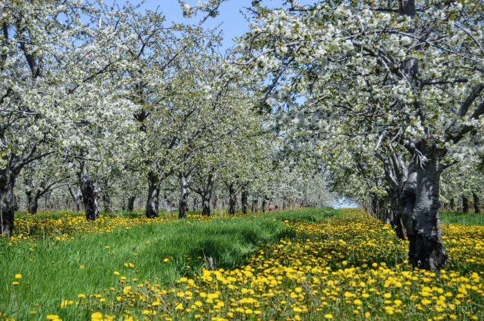 Cherry Orchard Aisles & Blossoms