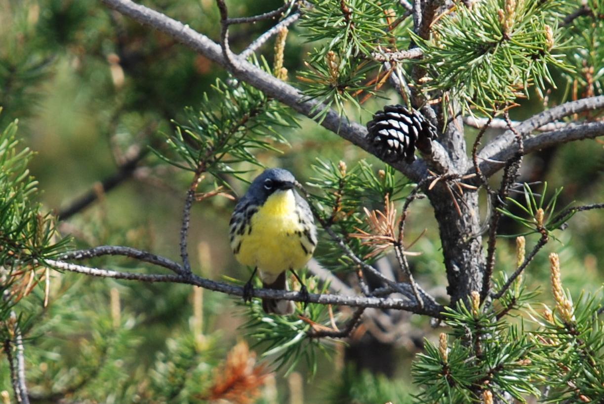 Michigan Bird of Fire Kirtlands Warbler
