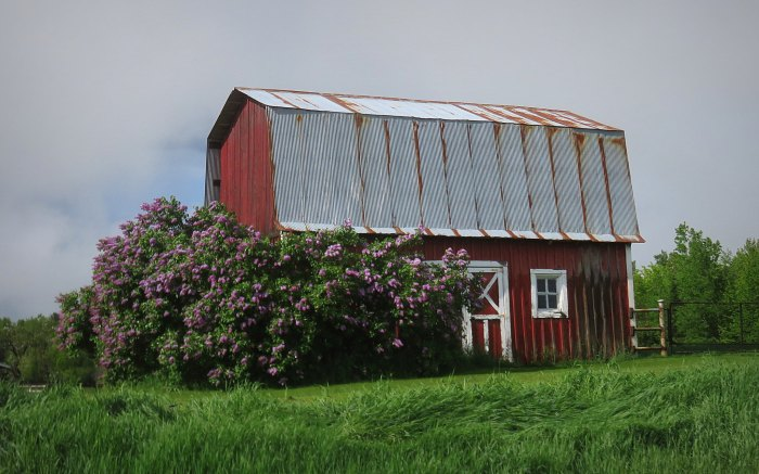 Red barn with Lilacs
