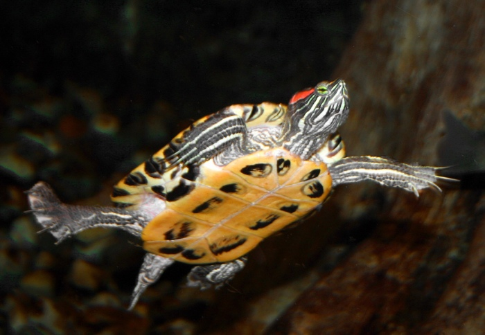 Happy world turtle day from the red eared slider for Trachemys scripta