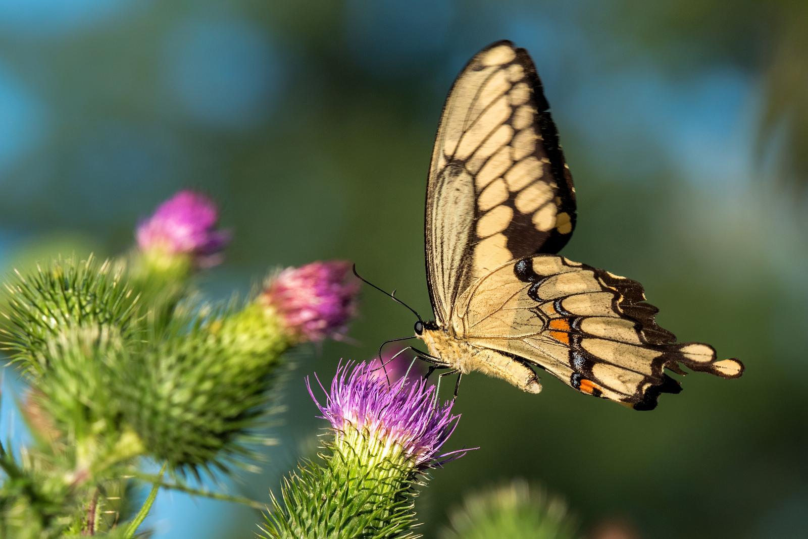 Giant Swallowtail with Thistle Jacqueline Verdun