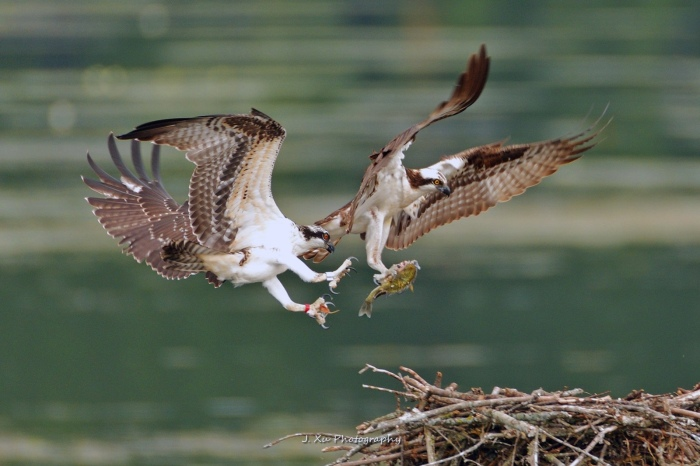 Dinner with the Ospreys