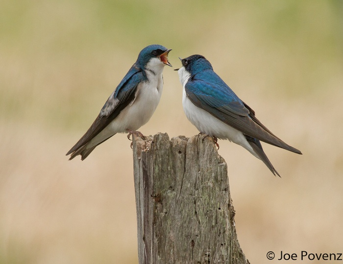 Life in 2016 Tree Swallow Edition
