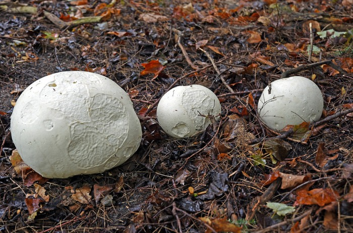 first-day-of-fall-puffballs