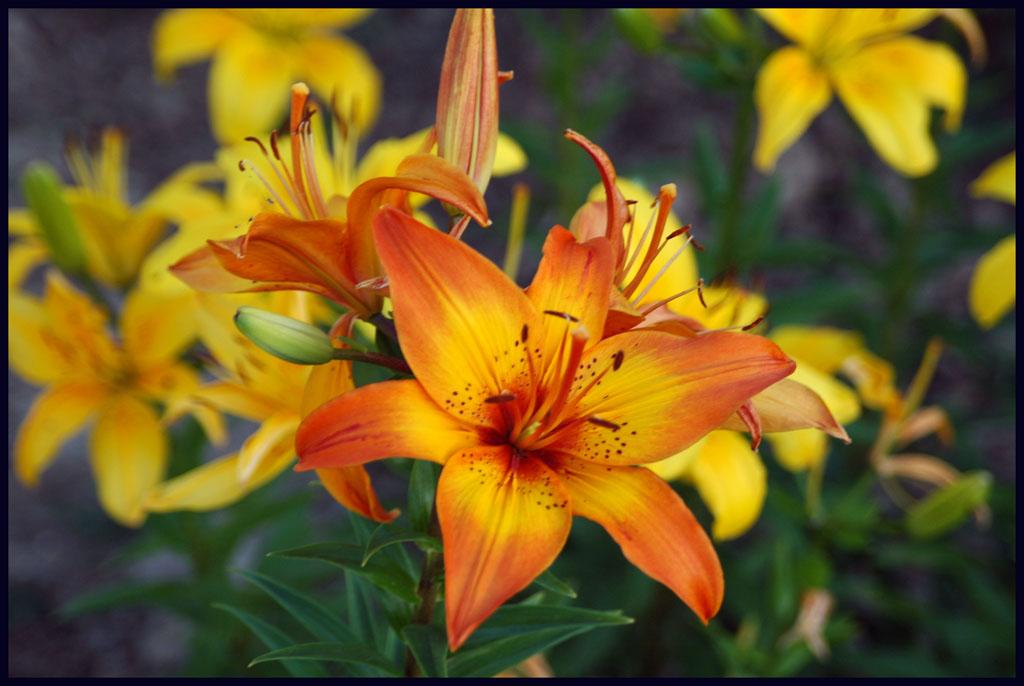 lilies-by-joel