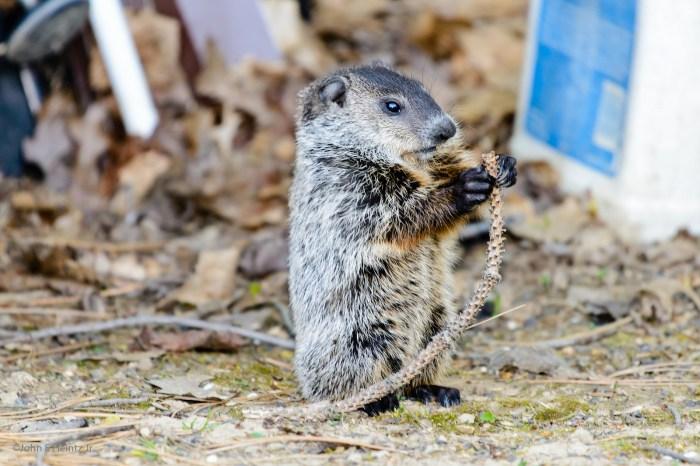 woodchuck-groundhog-day