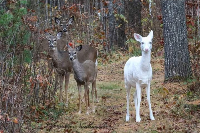 Albino Deer by Chryz Love