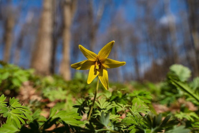 Trout Lily by William Dolak