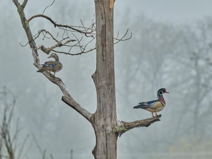 Wood Ducks by Third Son