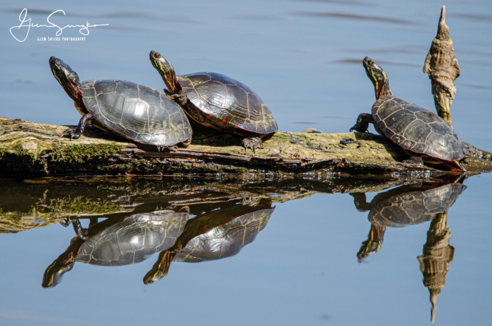 Reflections (Turtles) by Glen Suszko