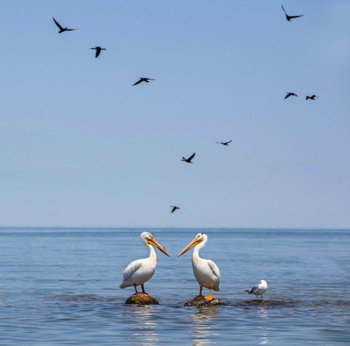 American White Pelicans on Lake Huron by kare hav