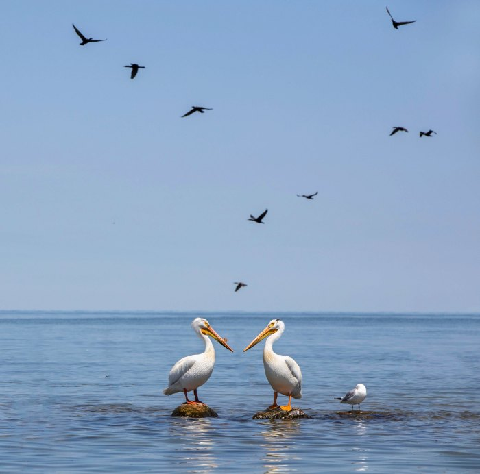 American White Pelicans on Lake Huron by kare hav
