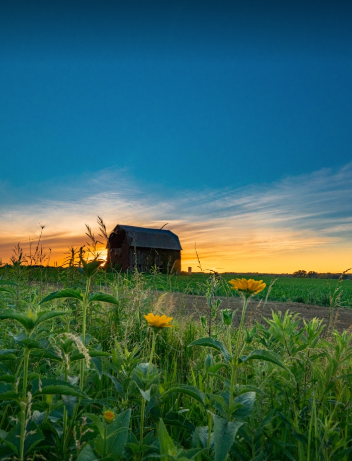 Buttercups and Barn by Jamie MacDonald