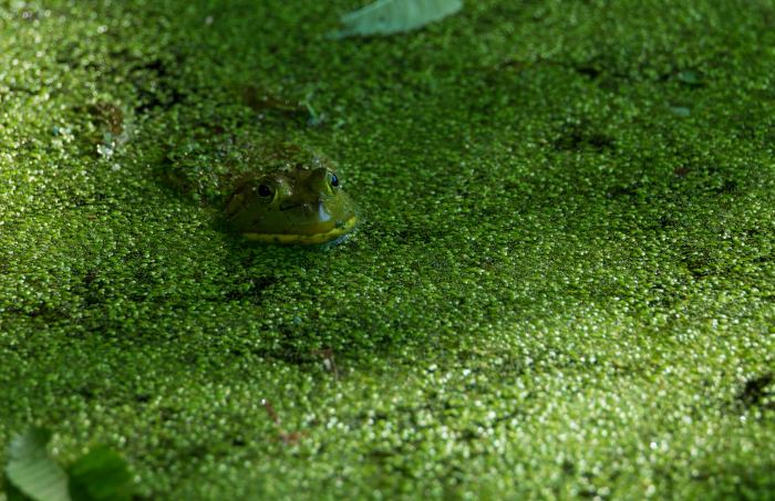 Frog hiding in the duckweed by William Dolak