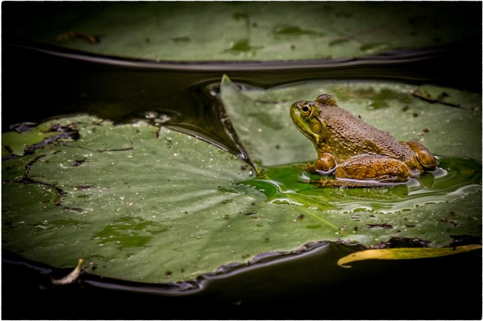 Frog and His Pad by Jeff Dehmel