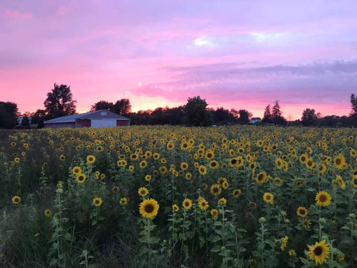 Sunflowers at Liefde Farm