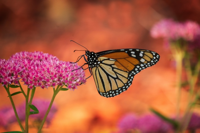 Monarch with Red Mulch Background by Charles Bonham