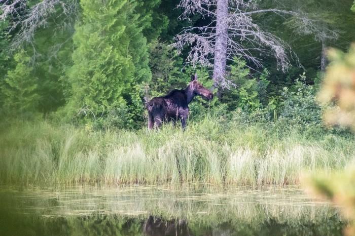 Chickenbone Lake Moose by David Clark