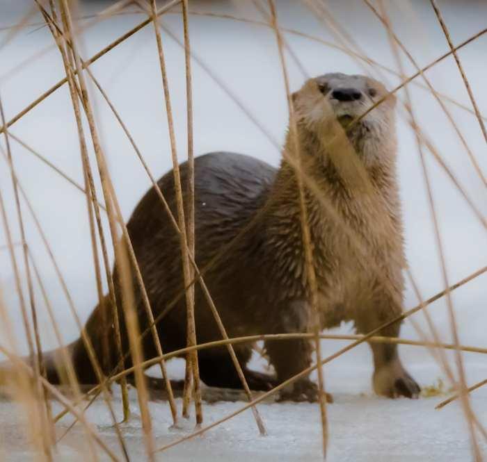 Otter at Otter Lake by Nicholas McCreedy