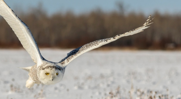 Snowy Owls are Back by Kevin Povenz