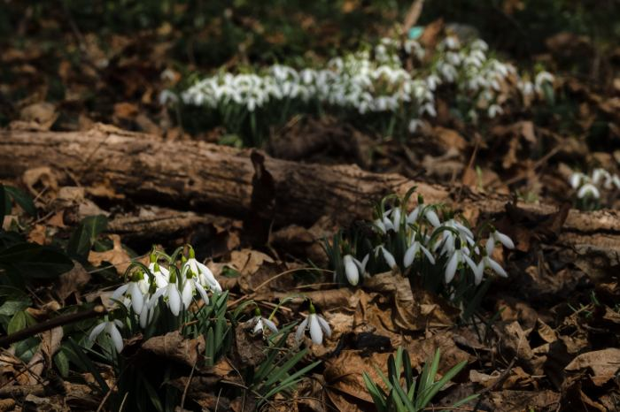 Kalamazoo Snowdrops by William Dolak