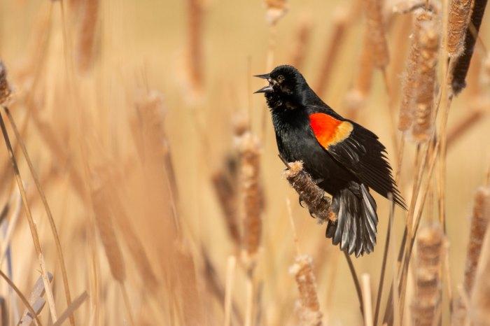 Red winged Blackbird by Reji TV