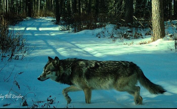 Wolf Making the Rounds by Bill Joyce Ziegler