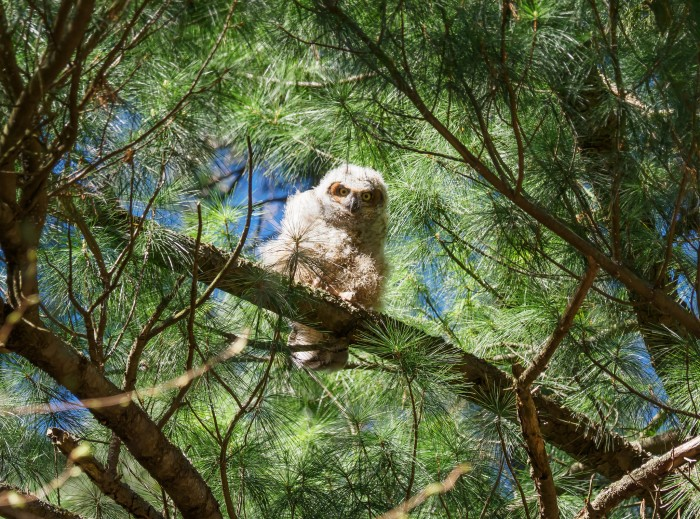 Great Horned Owlet by David Marvin