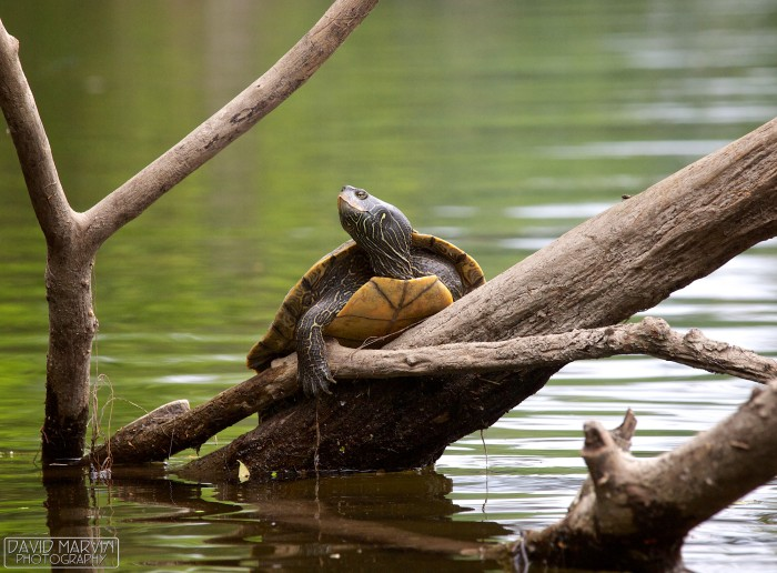 Map Turtle by David Marvin