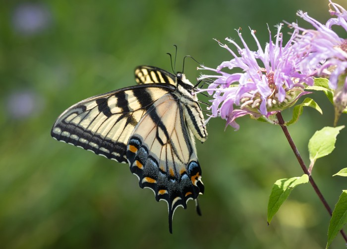 Eastern Tiger Swallowtail Butterfly by David Marvin