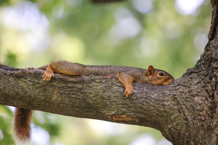 Fox Squirrels in Ann Arbor at the University of Michigan by Corey Seeman