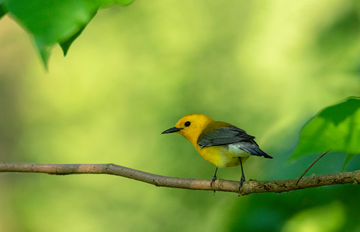Prothonotary Warbler. by Kevin Povenz