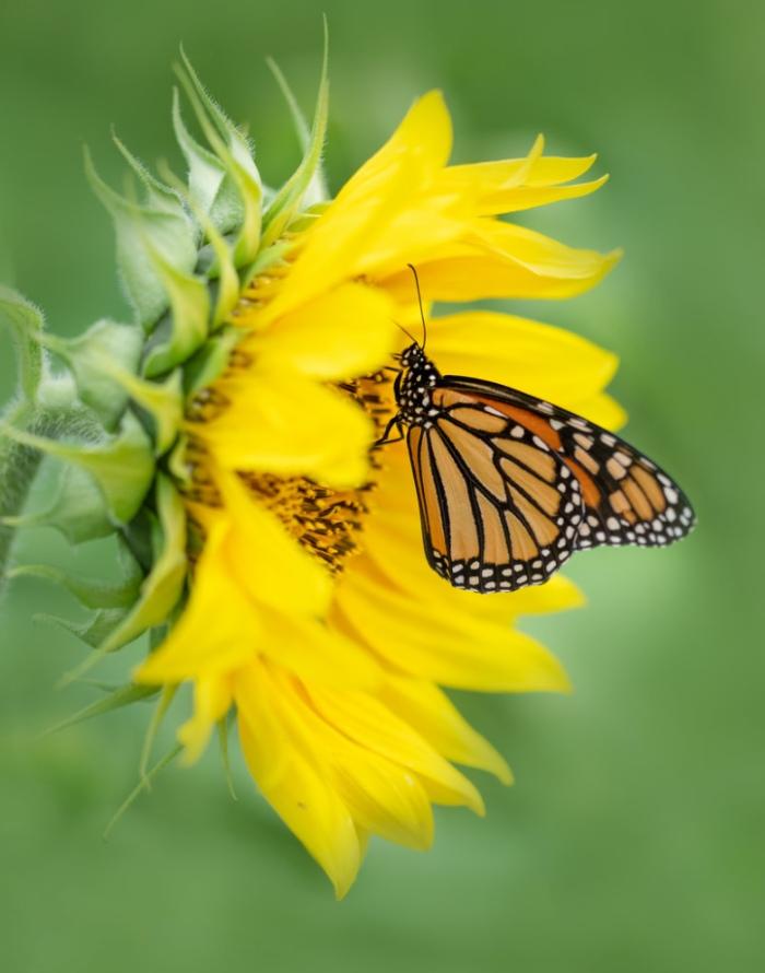 Sunflower & Monarch! by Michelle Leale