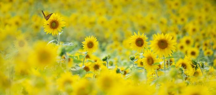 Sunflowers & Monarch by Michelle Leale